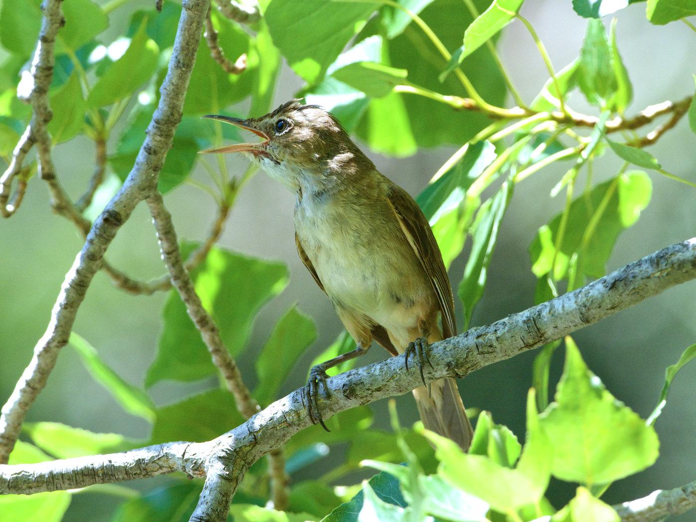 Australian Reed-Warbler (Image ID 37735)