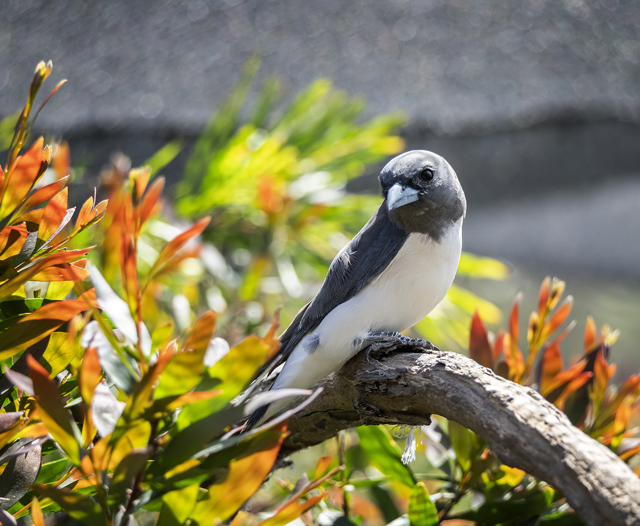 White-breasted Woodswallow (Image ID 37782)
