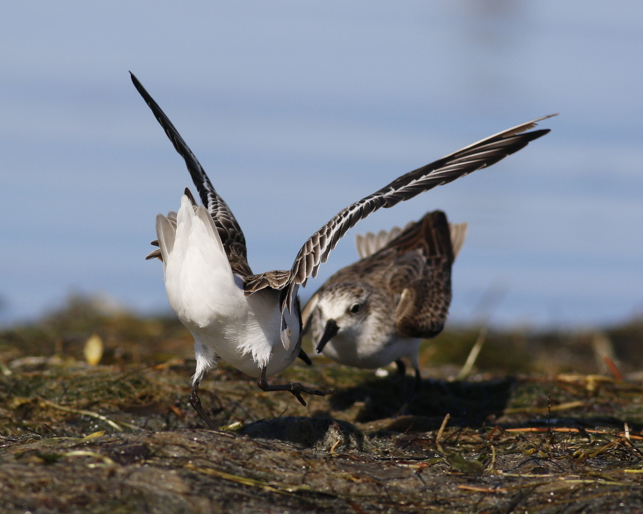 Red-necked Stint (Image ID 37817)