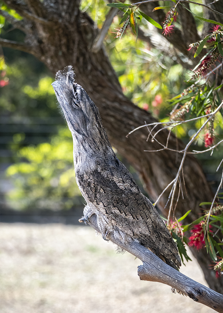 Tawny Frogmouth (Image ID 37807)