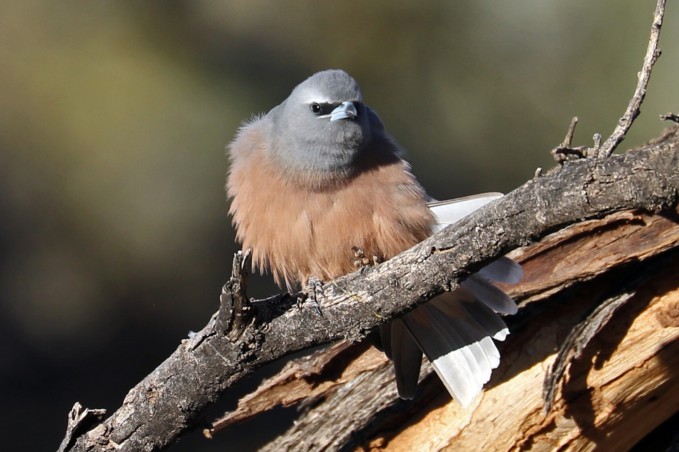 White-browed Woodswallow (Image ID 37569)