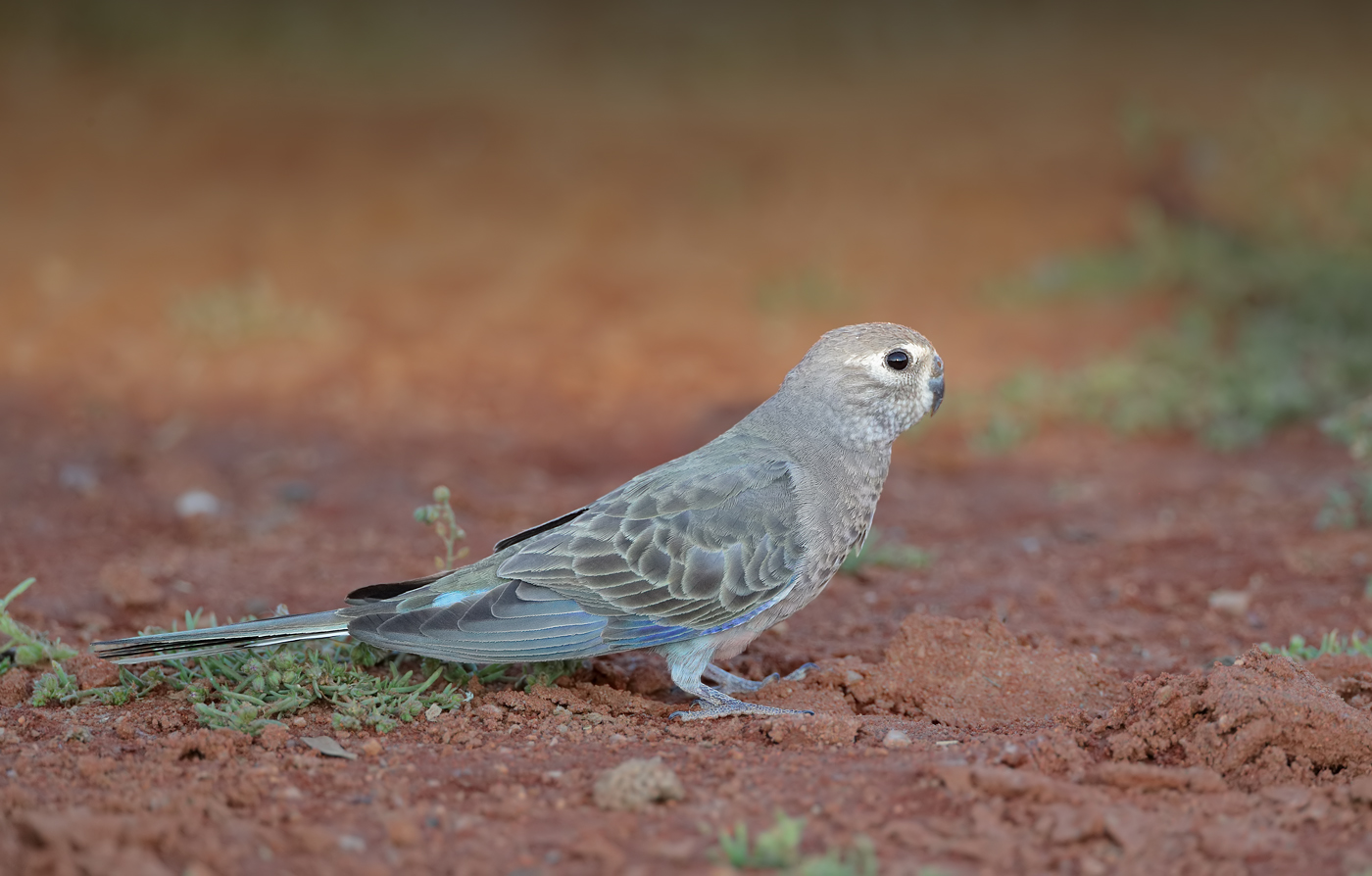 Bourke's Parrot (Image ID 37711)