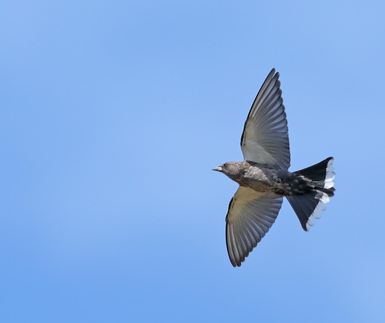 Dusky Woodswallow (Image ID 37680)