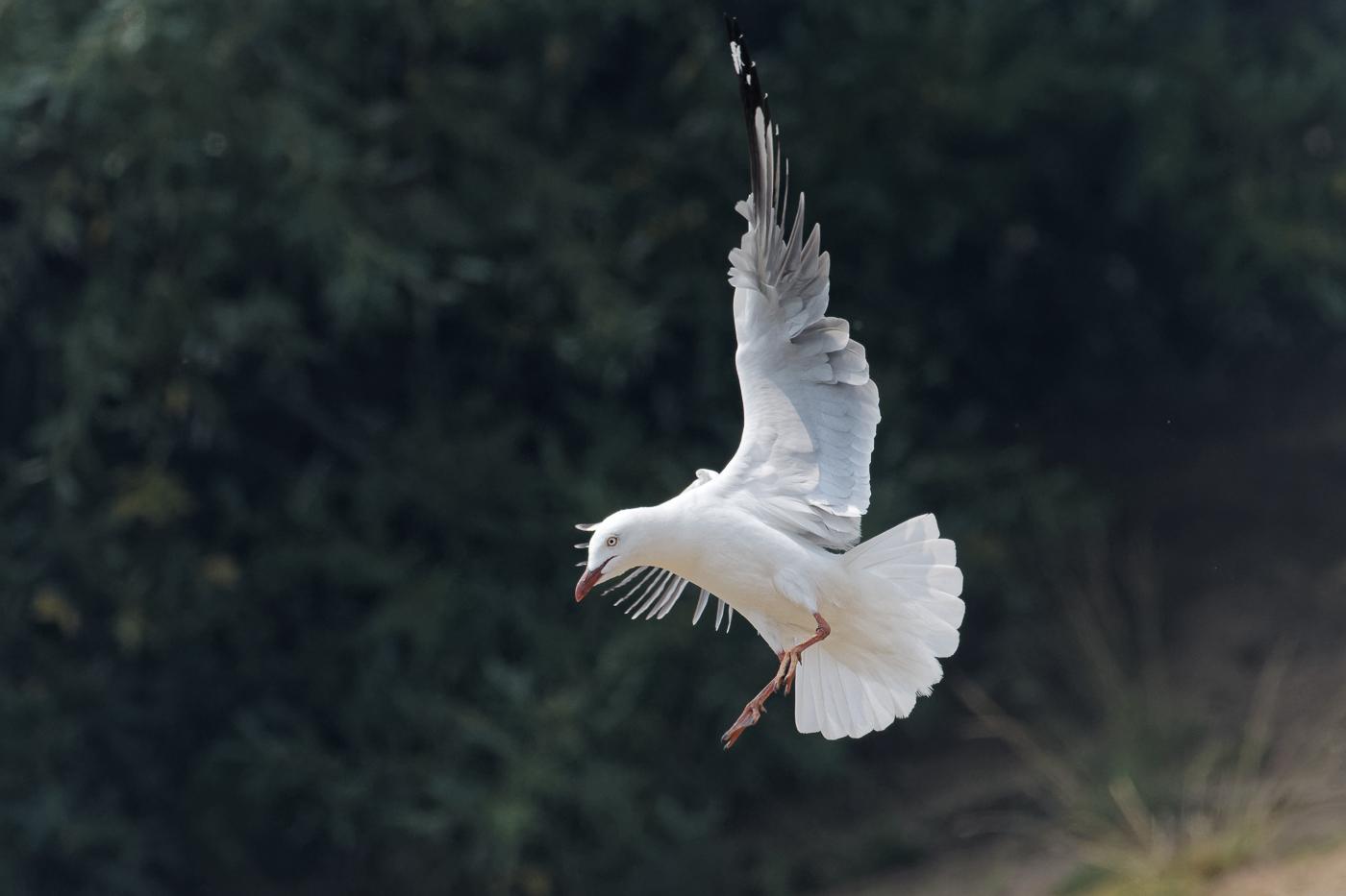 Silver Gull (Image ID 37645)