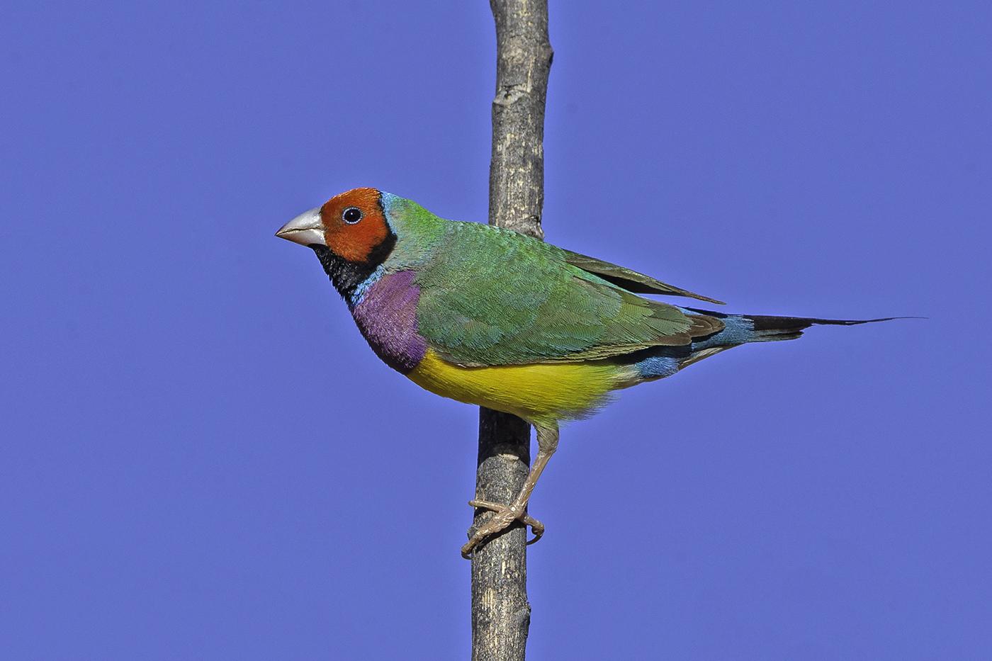 Gouldian Finch (Image ID 37843)