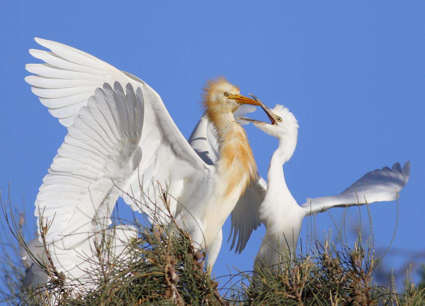 Cattle Egret (Image ID 37866)