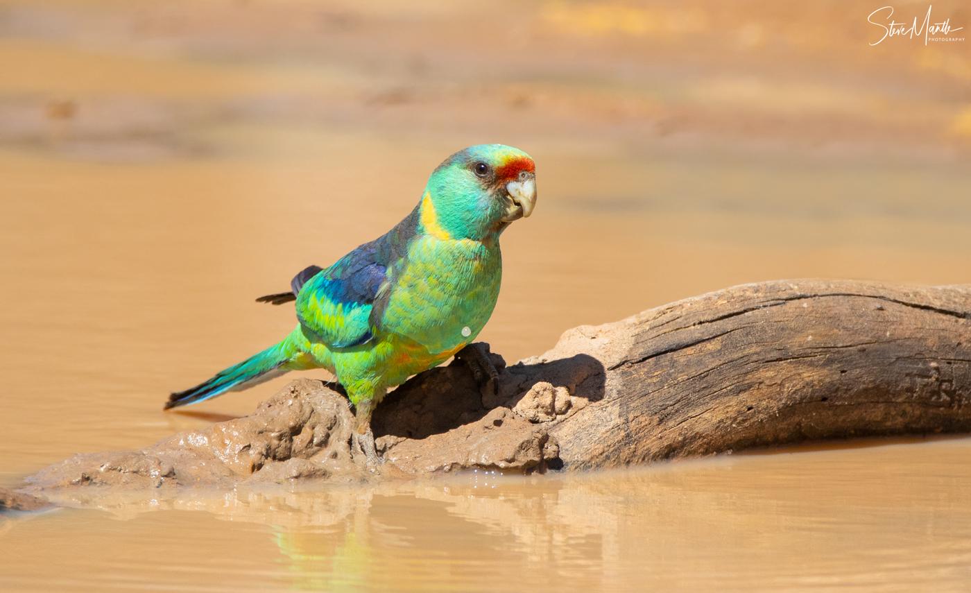 Australian Ringneck (Image ID 37705)