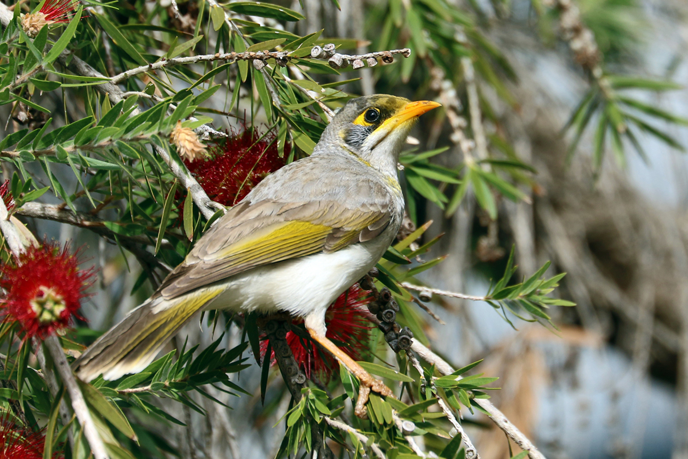 Yellow-throated Miner (Image ID 37614)