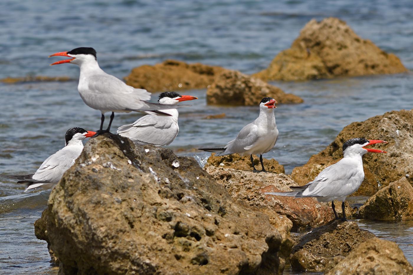 Caspian Tern (Image ID 37572)