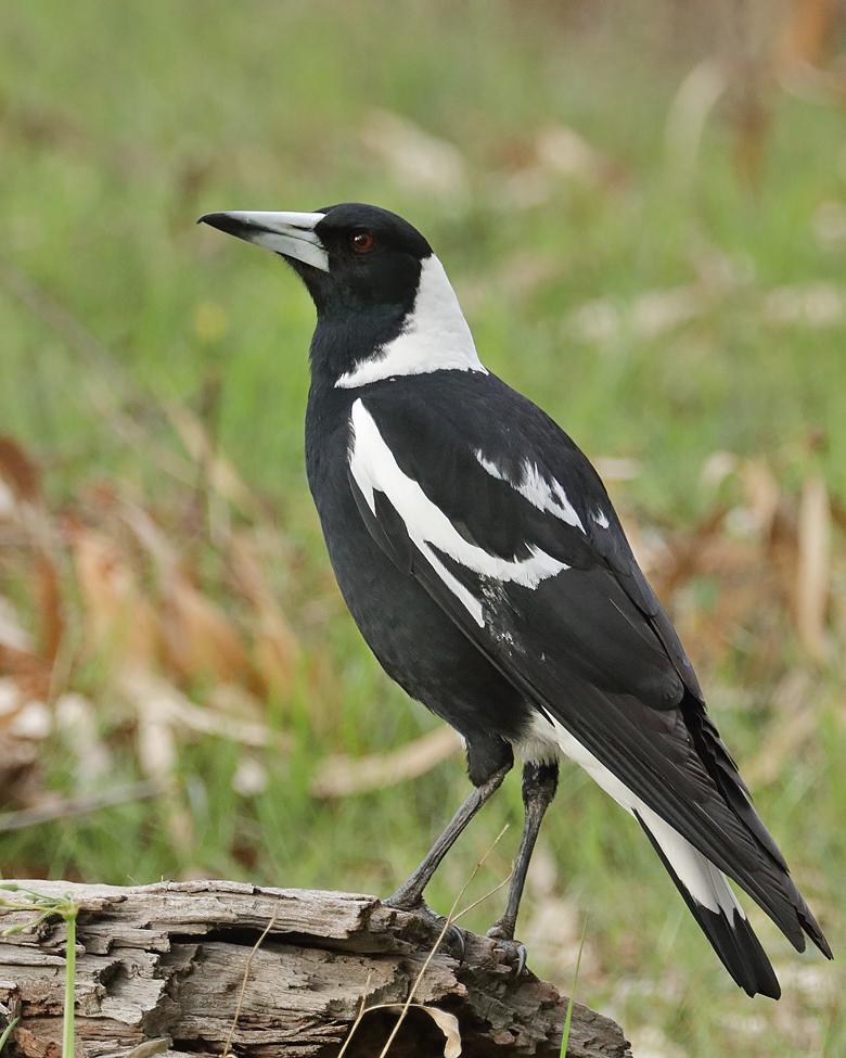 Australian Magpie (Image ID 37893)