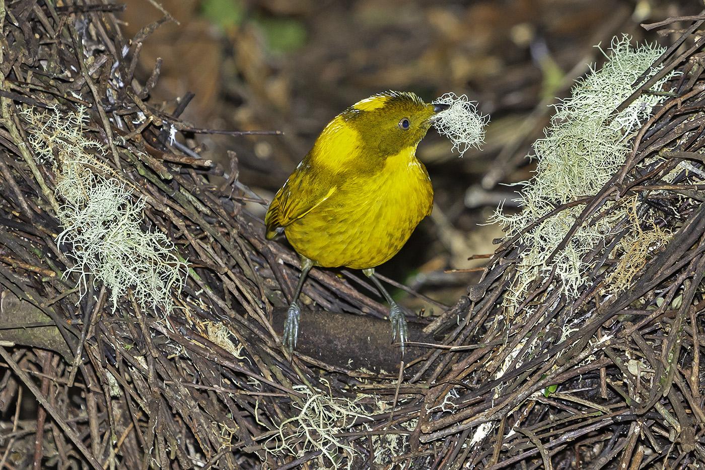 Golden Bowerbird (Image ID 37775)