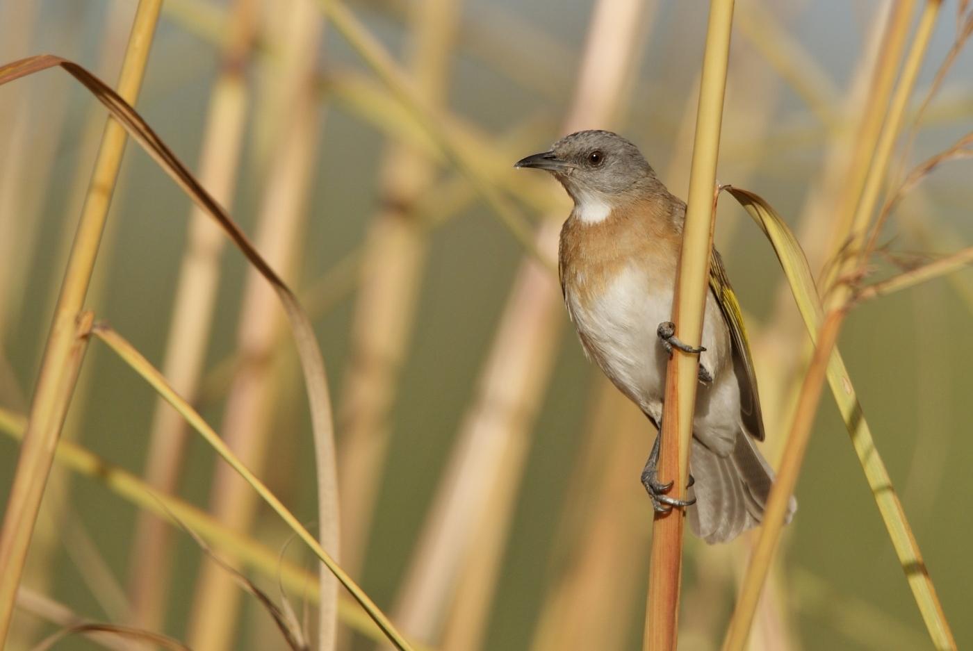 Rufous-banded Honeyeater (Image ID 37859)