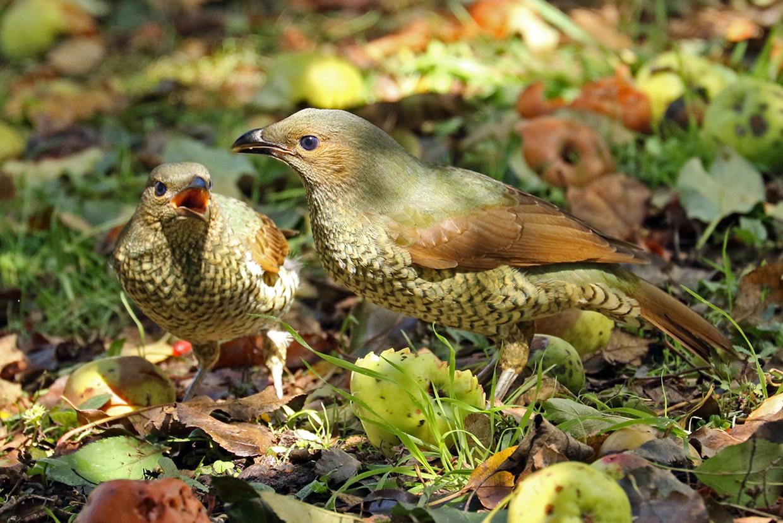 Satin Bowerbird (Image ID 37509)