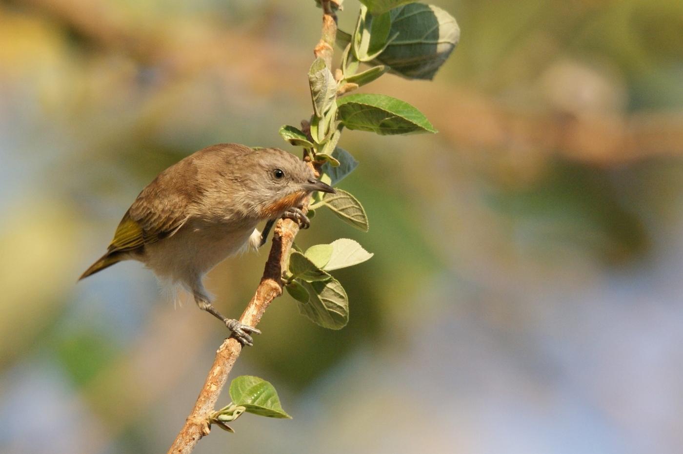 Rufous-throated Honeyeater (Image ID 37858)