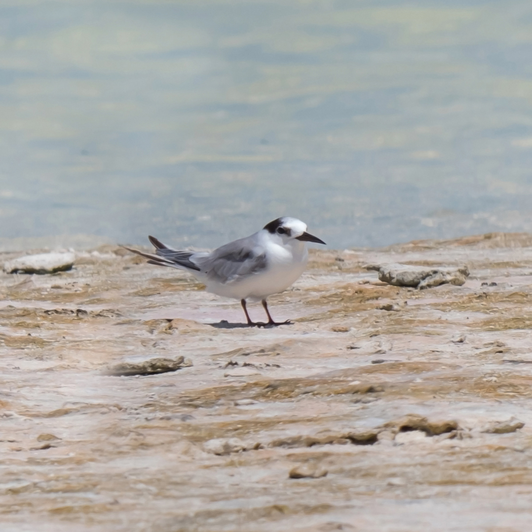 Saunders's Tern (Image ID 37494)