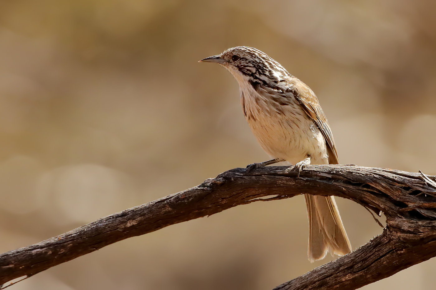 Striped Honeyeater (Image ID 37562)