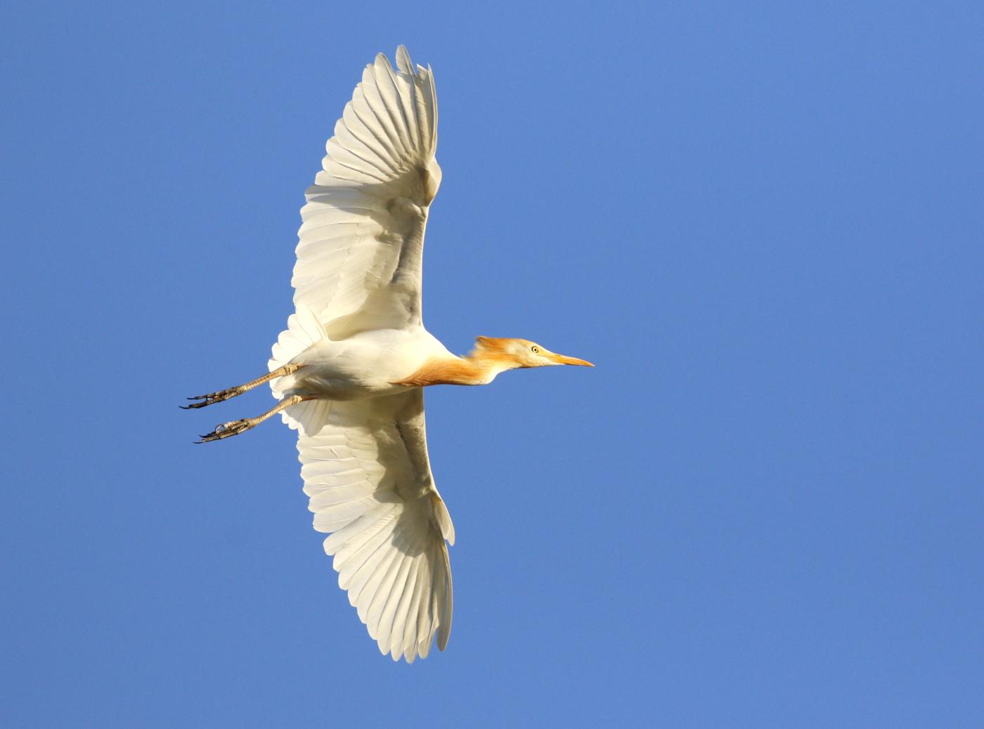 Cattle Egret (Image ID 37867)