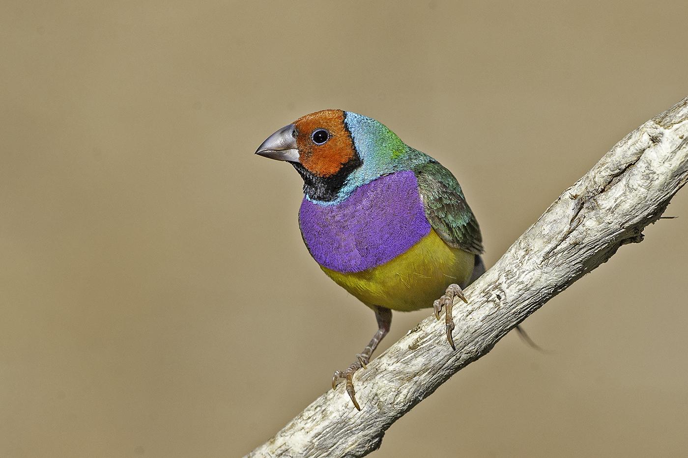 Gouldian Finch (Image ID 37854)