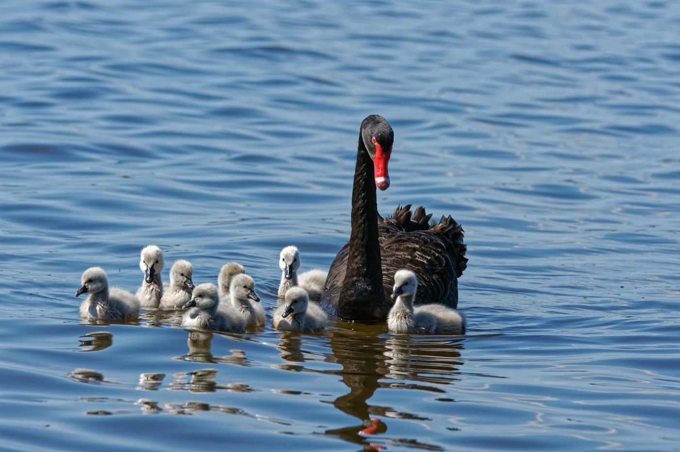 Black Swan (Image ID 37637)