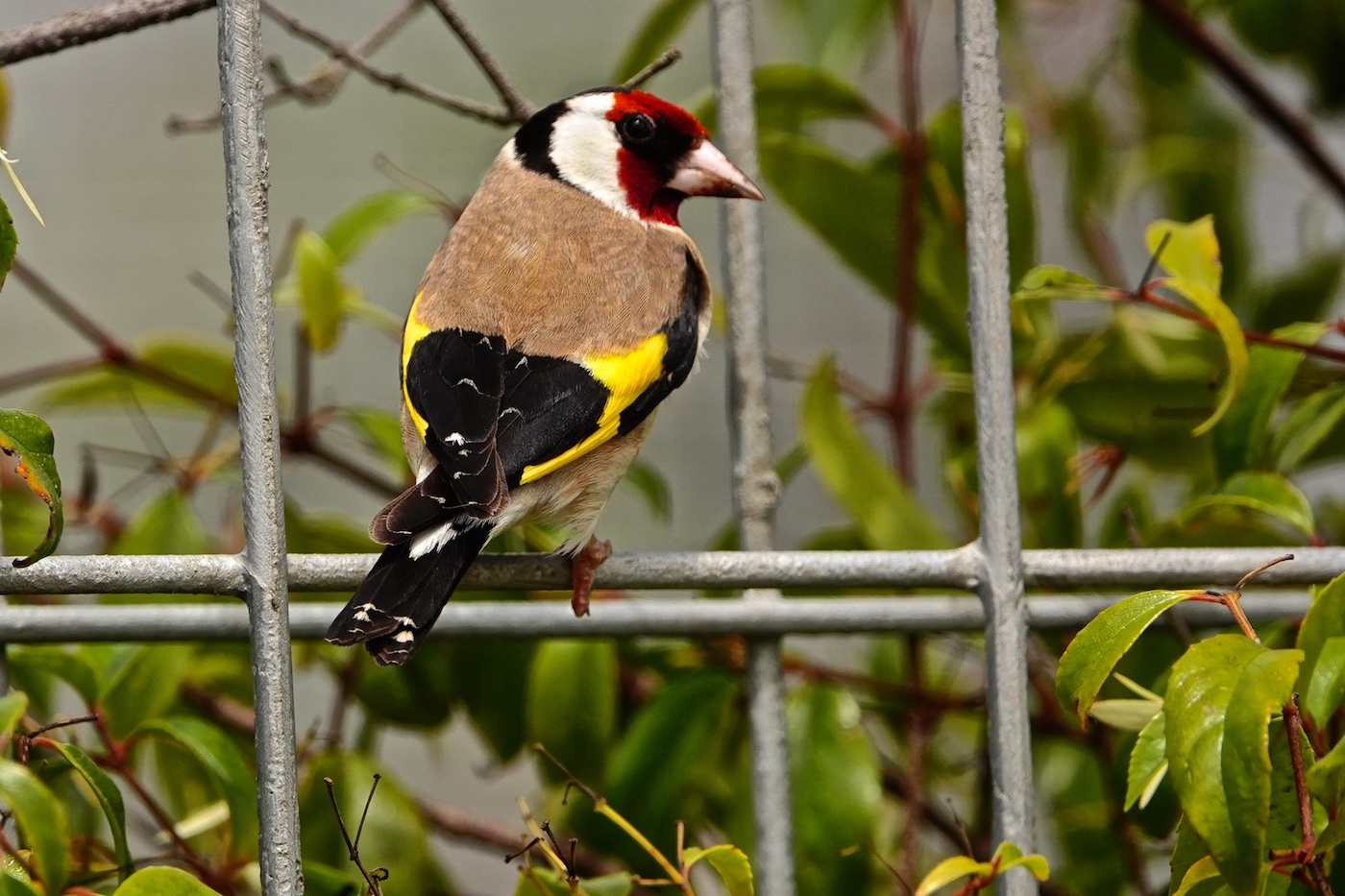 European Goldfinch (Image ID 37488)