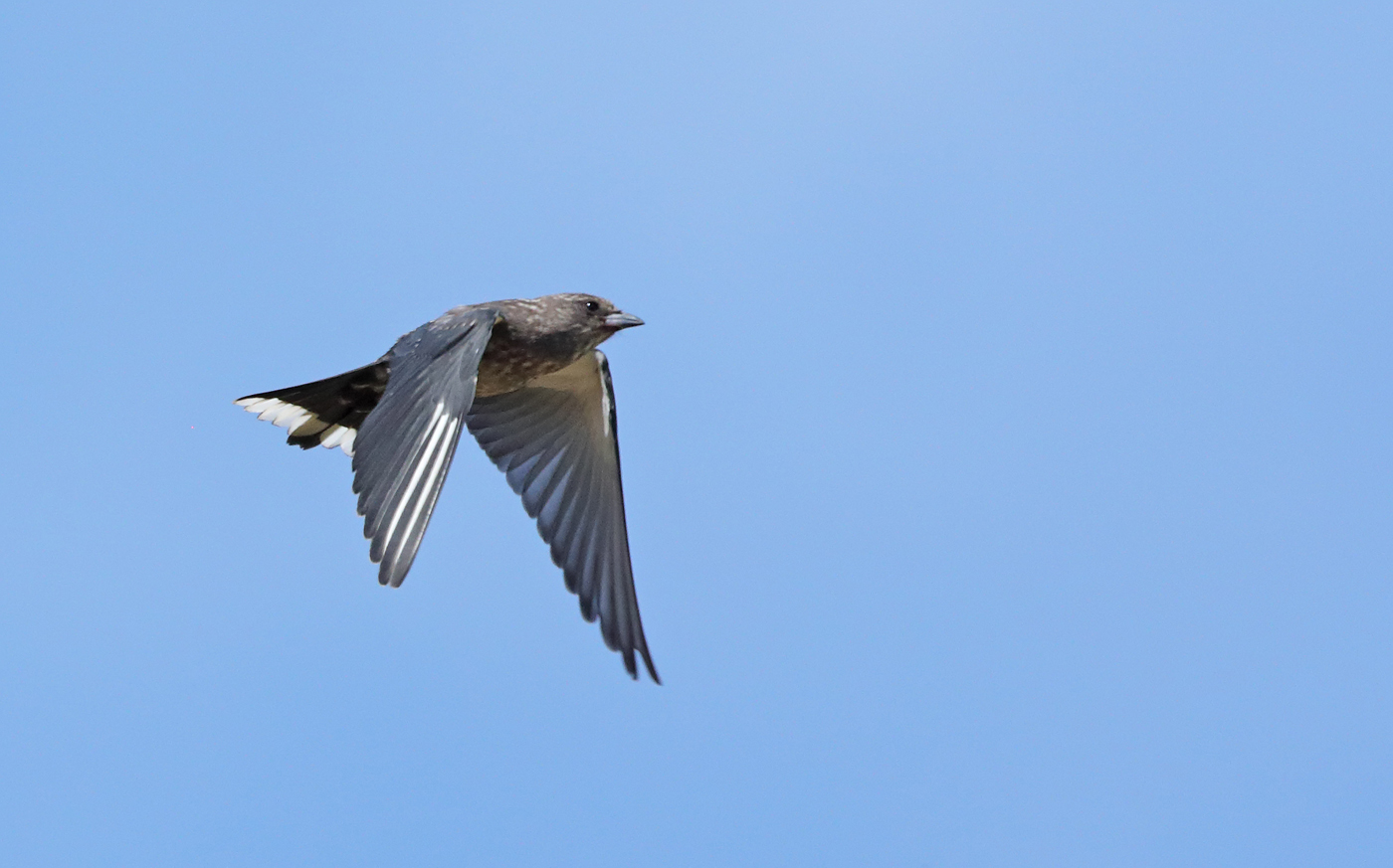 Dusky Woodswallow (Image ID 37682)