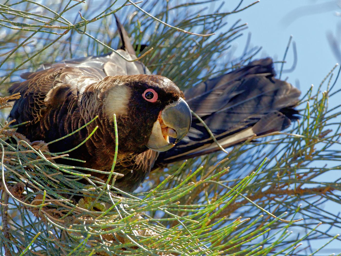 Carnaby's Black-Cockatoo (Image ID 37734)