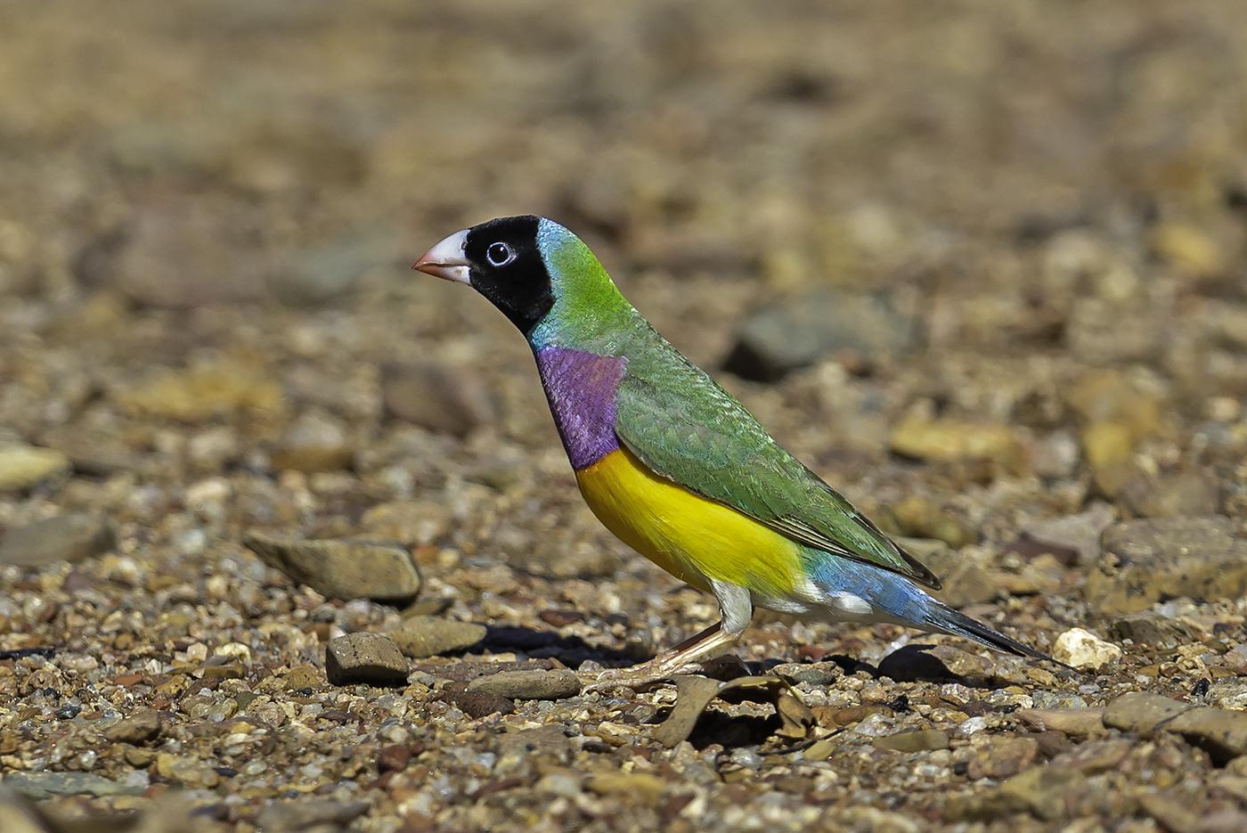 Gouldian Finch (Image ID 37840)