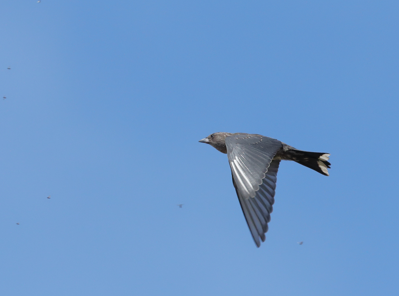 Dusky Woodswallow (Image ID 37681)