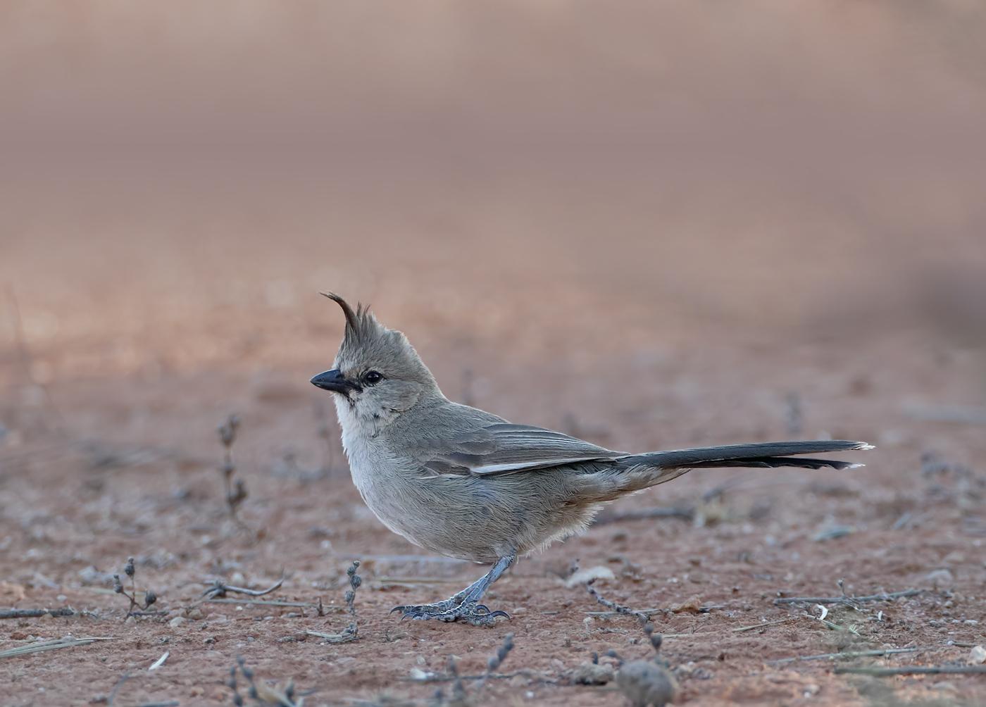 Chiming Wedgebill (Image ID 37525)