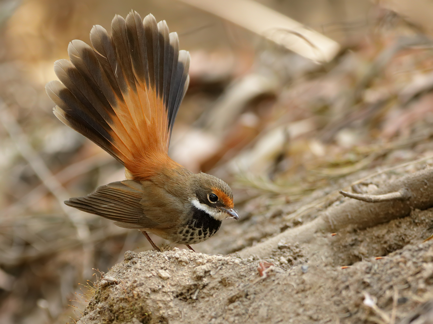 Rufous Fantail complex (Image ID 37769)
