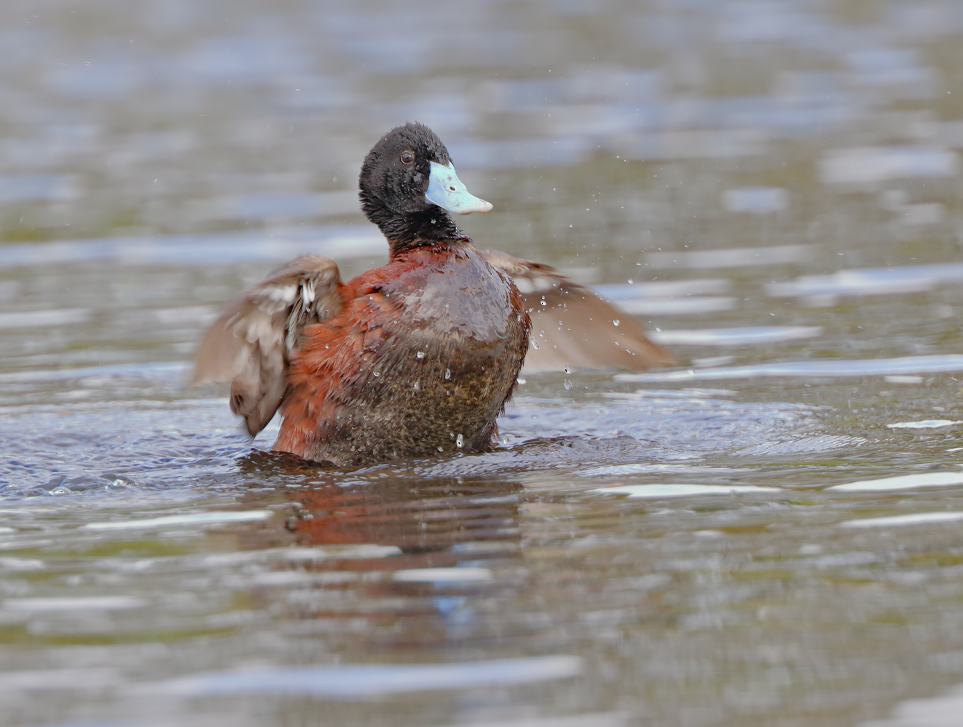 Blue-billed Duck (Image ID 37492)