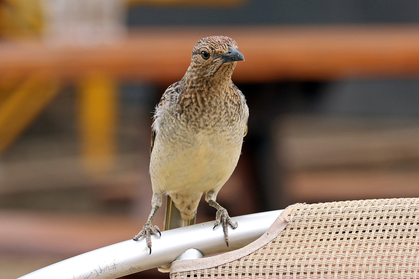 Spotted Bowerbird (Image ID 37516)