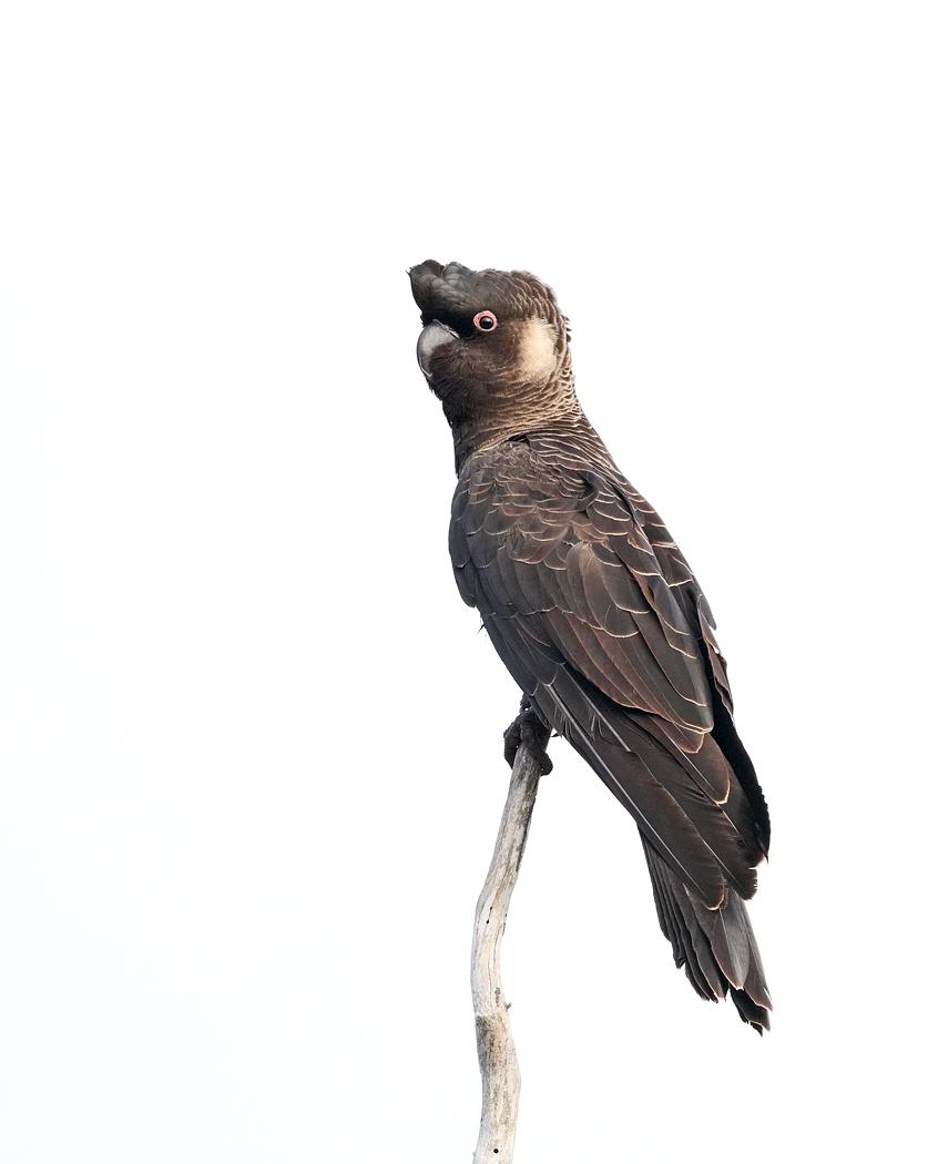 Carnaby's Black-Cockatoo (Image ID 37577)