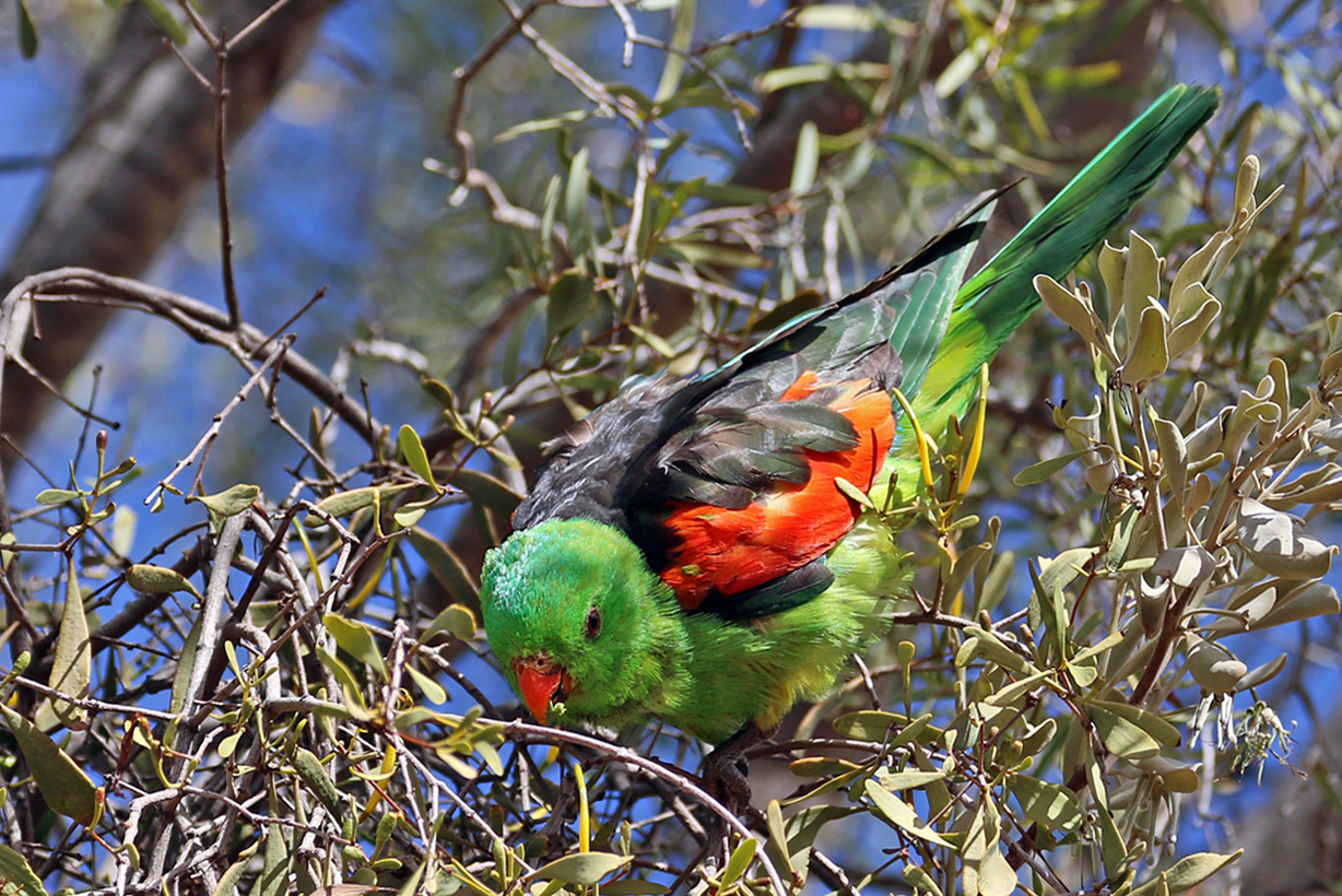 Red-winged Parrot (Image ID 37484)