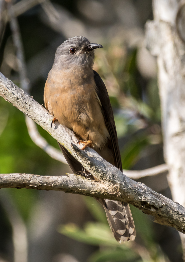 Brush Cuckoo (Image ID 37789)