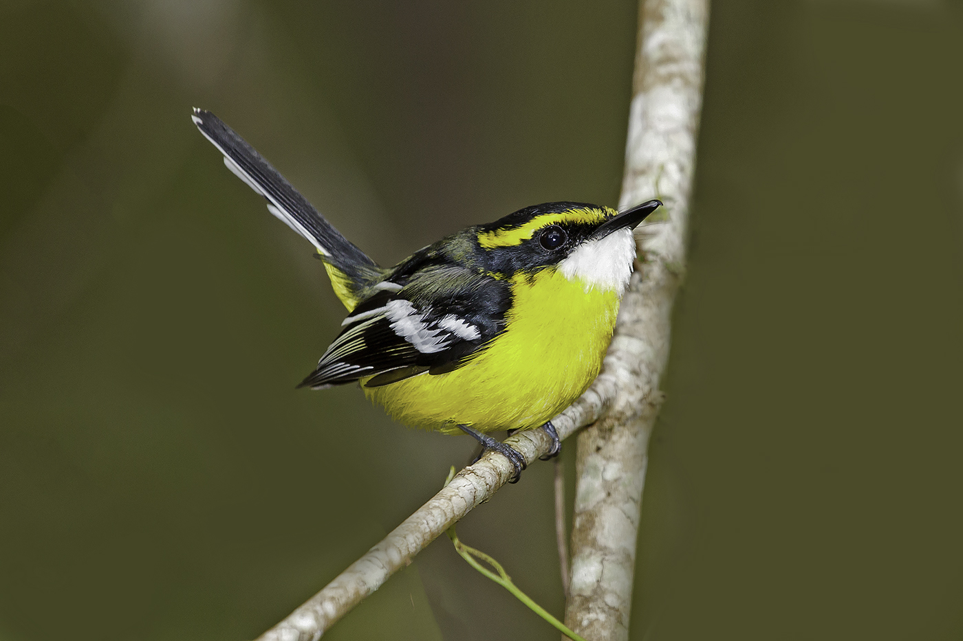 Yellow-breasted Boatbill (Image ID 37740)