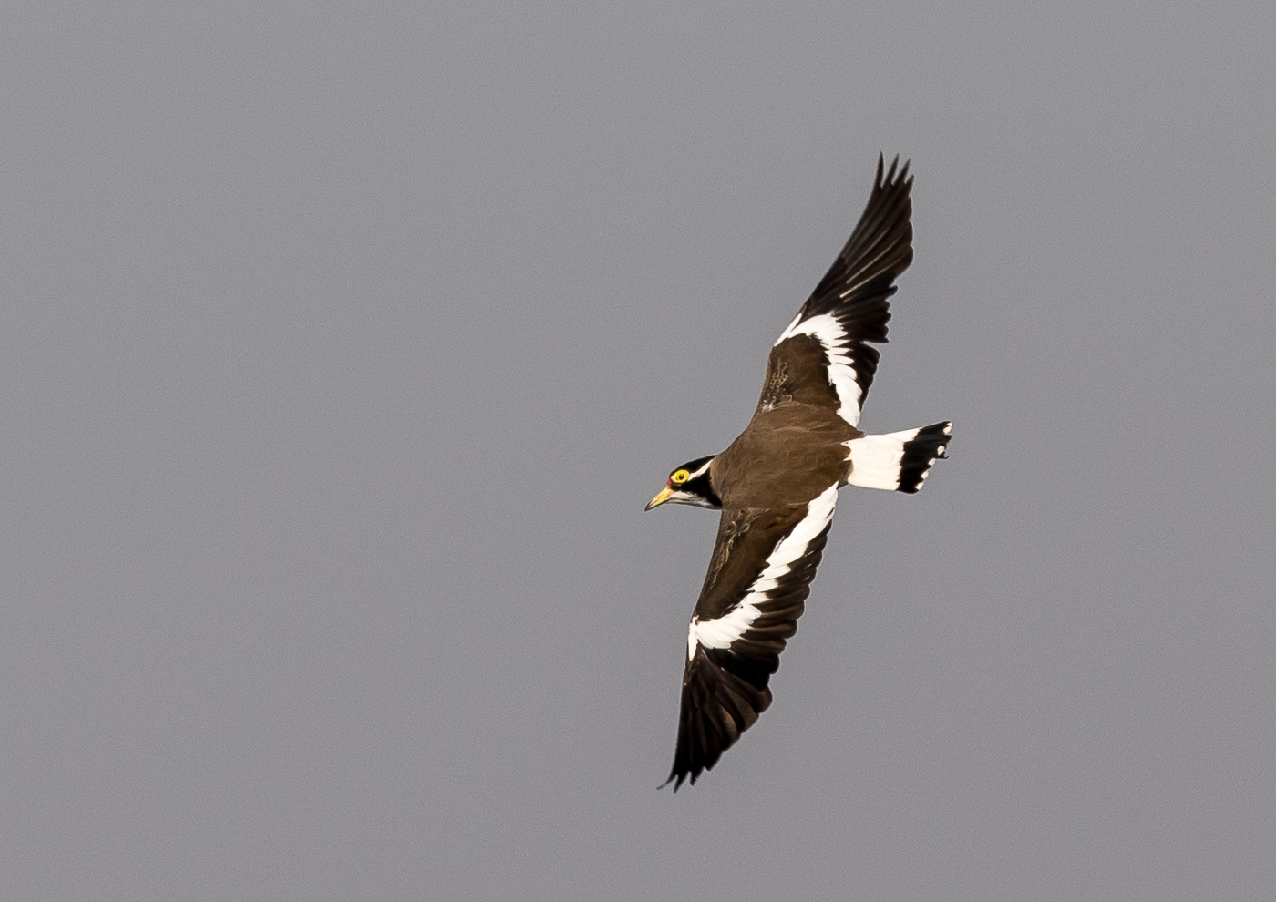 Banded Lapwing (Image ID 37786)