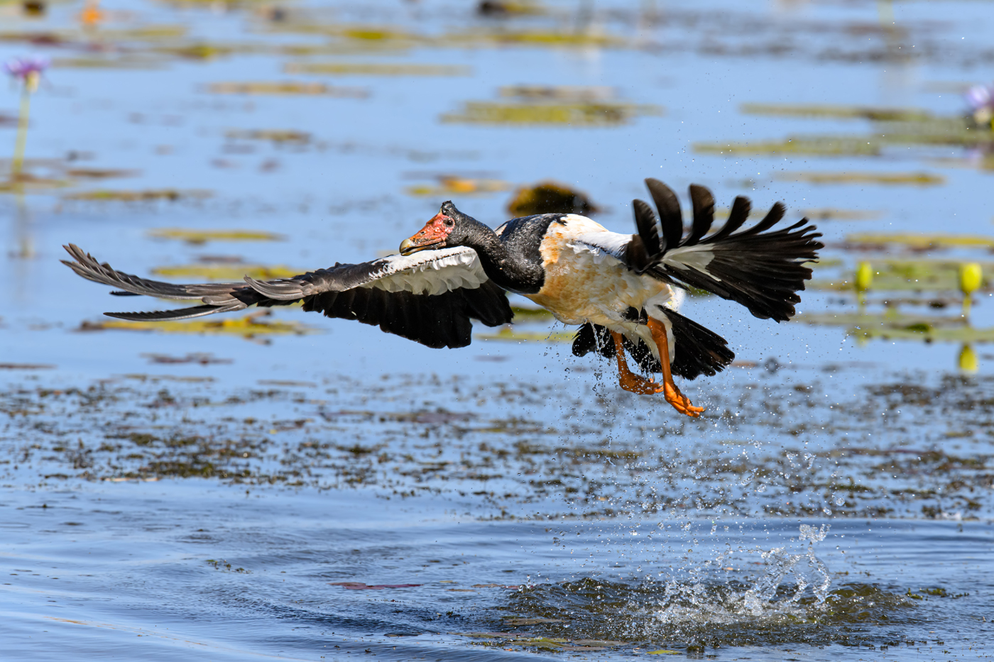 Magpie Goose (Image ID 38069)