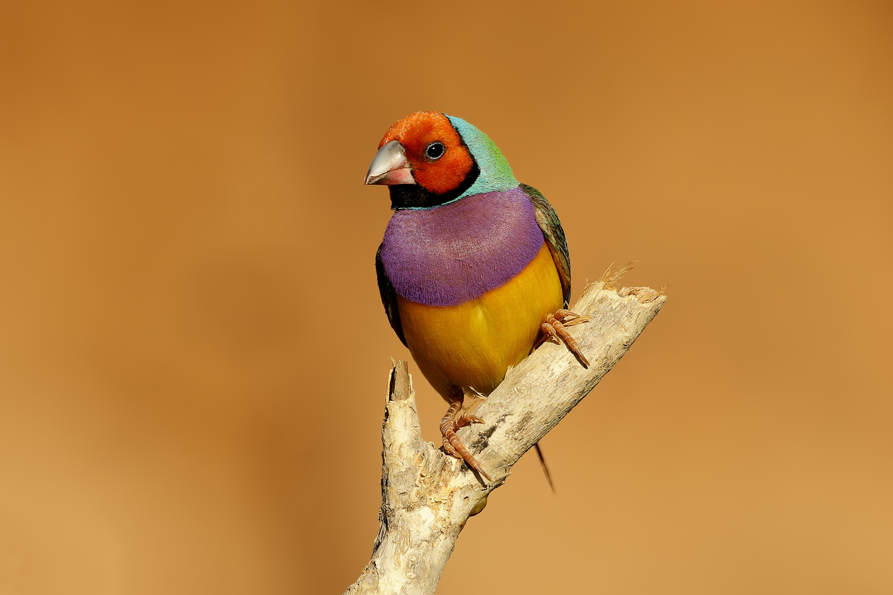 Gouldian Finch (Image ID 38279)