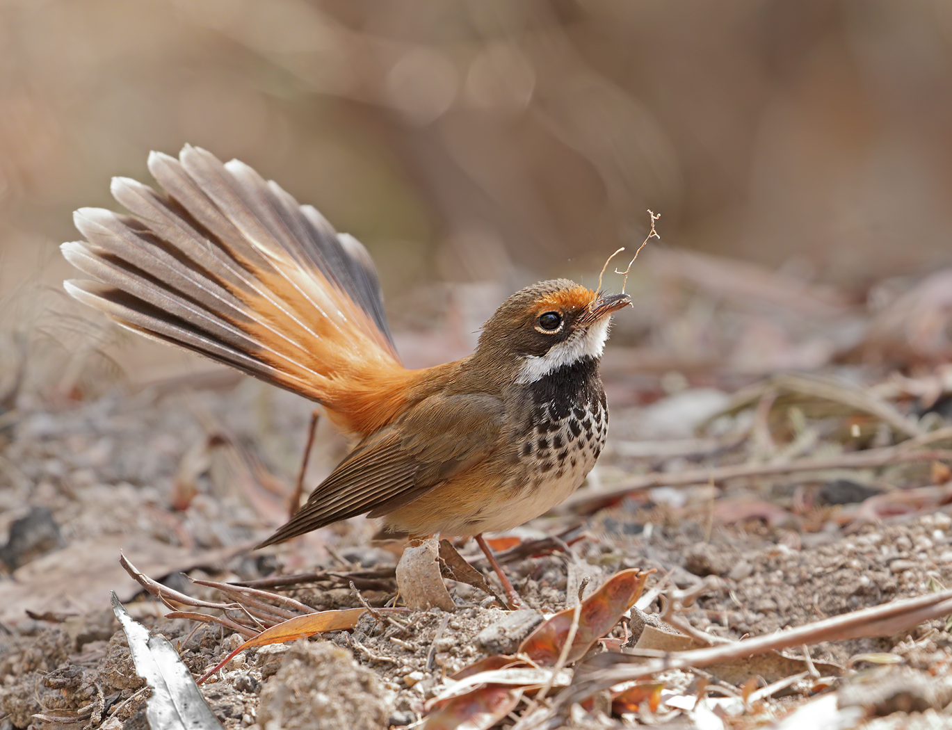 Rufous Fantail (Image ID 38014)