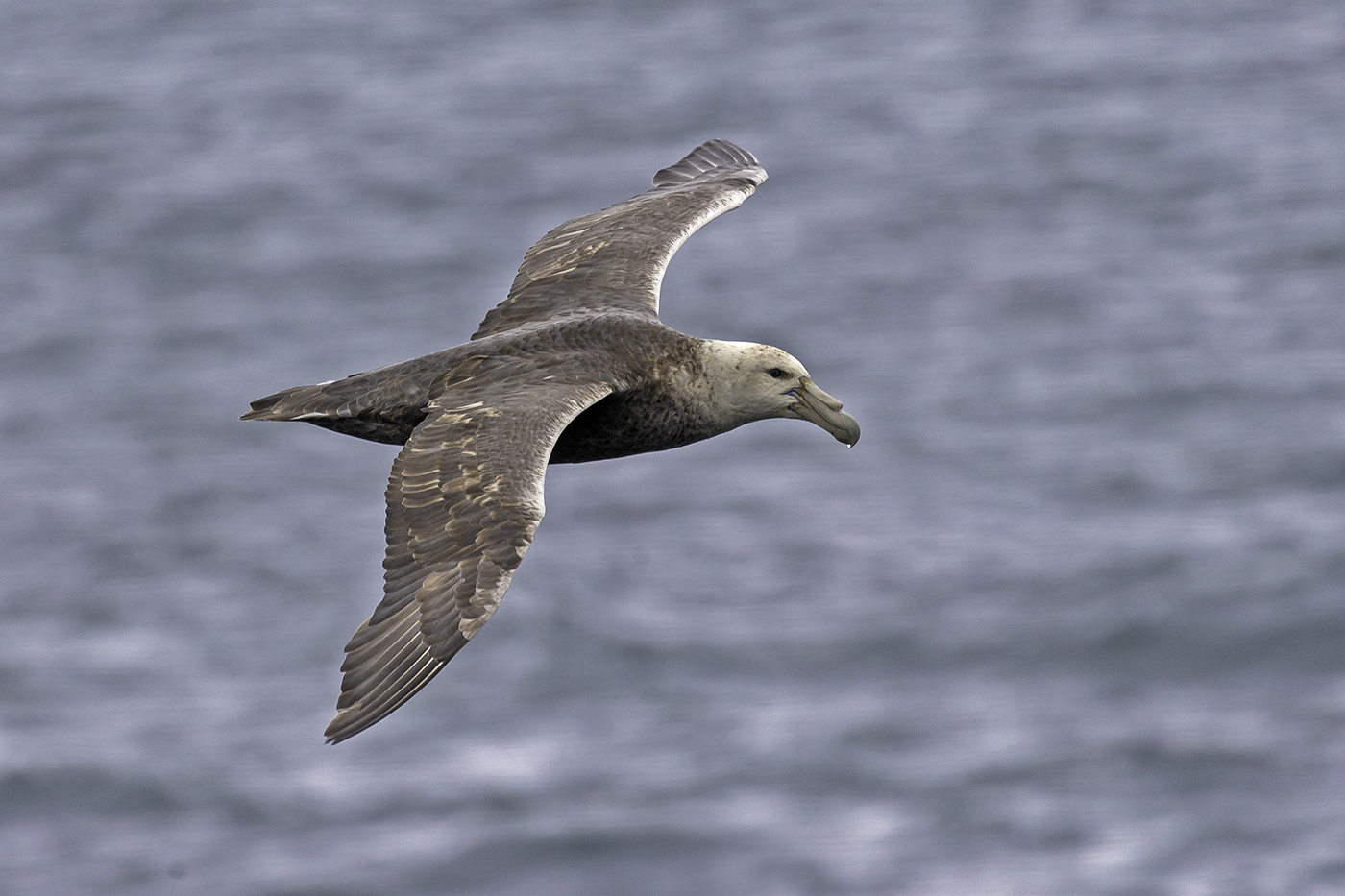 Southern Giant-Petrel (Image ID 37924)