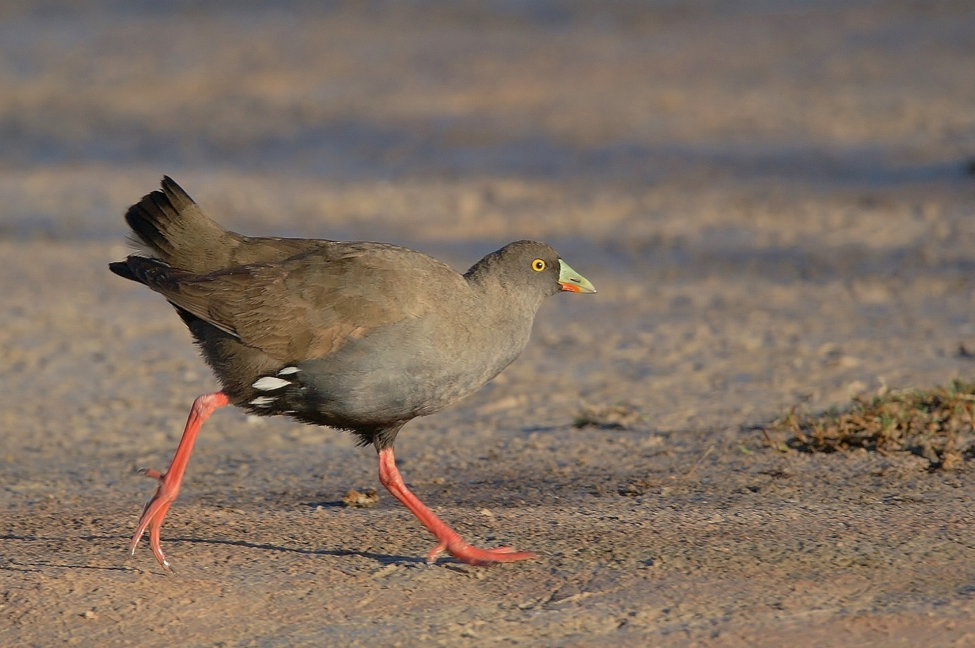 Black-tailed Native-hen (Image ID 38025)