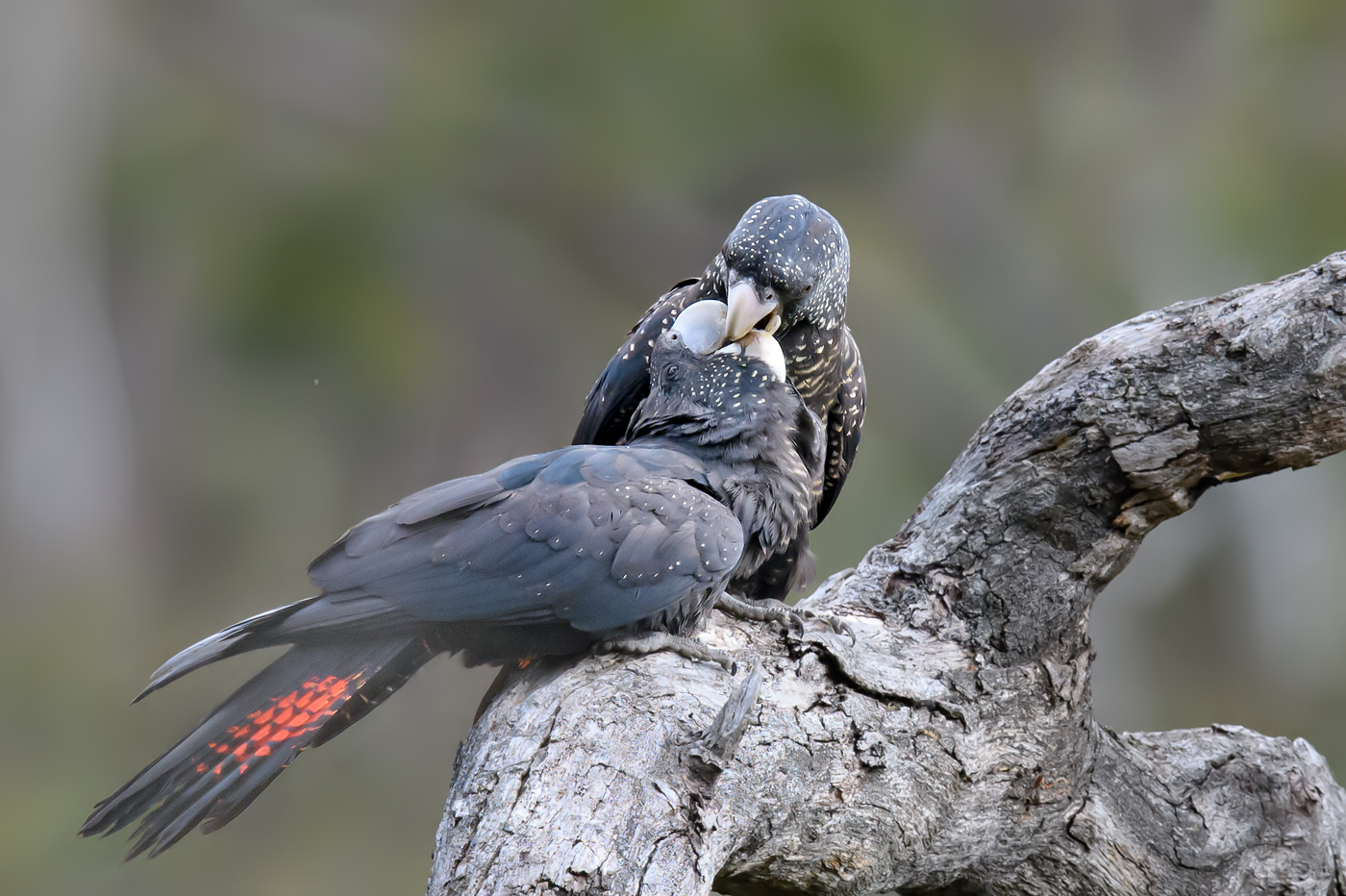 Red-tailed Black-Cockatoo (Image ID 38114)