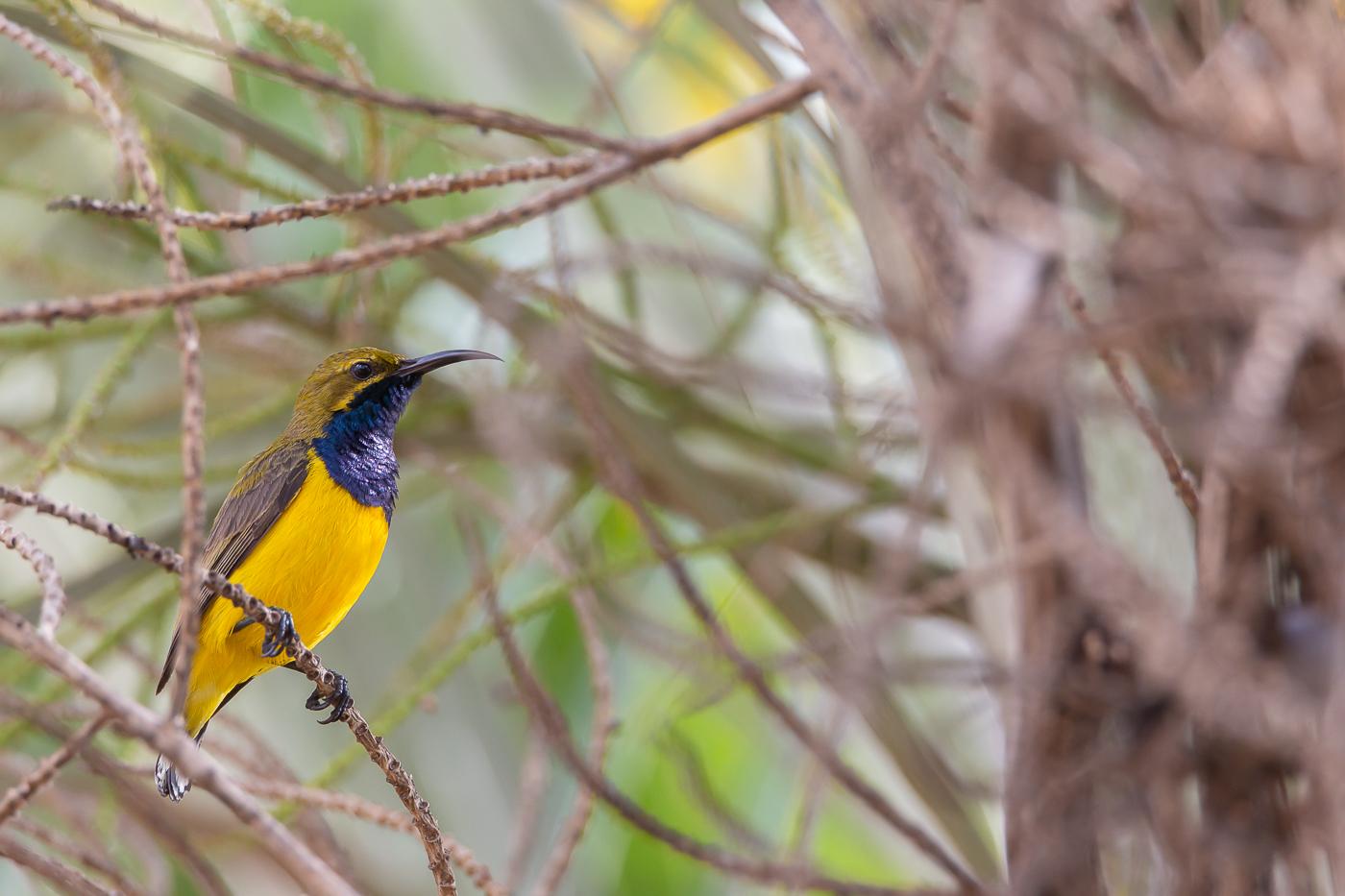 Olive-backed Sunbird (Image ID 38399)