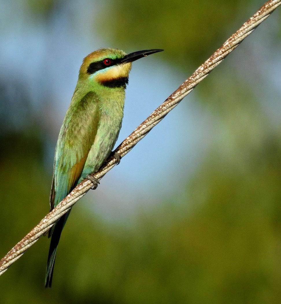 Rainbow Bee-eater (Image ID 38054)