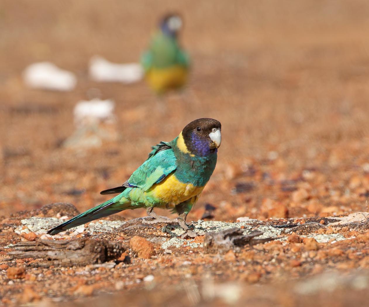Australian Ringneck (Image ID 38128)