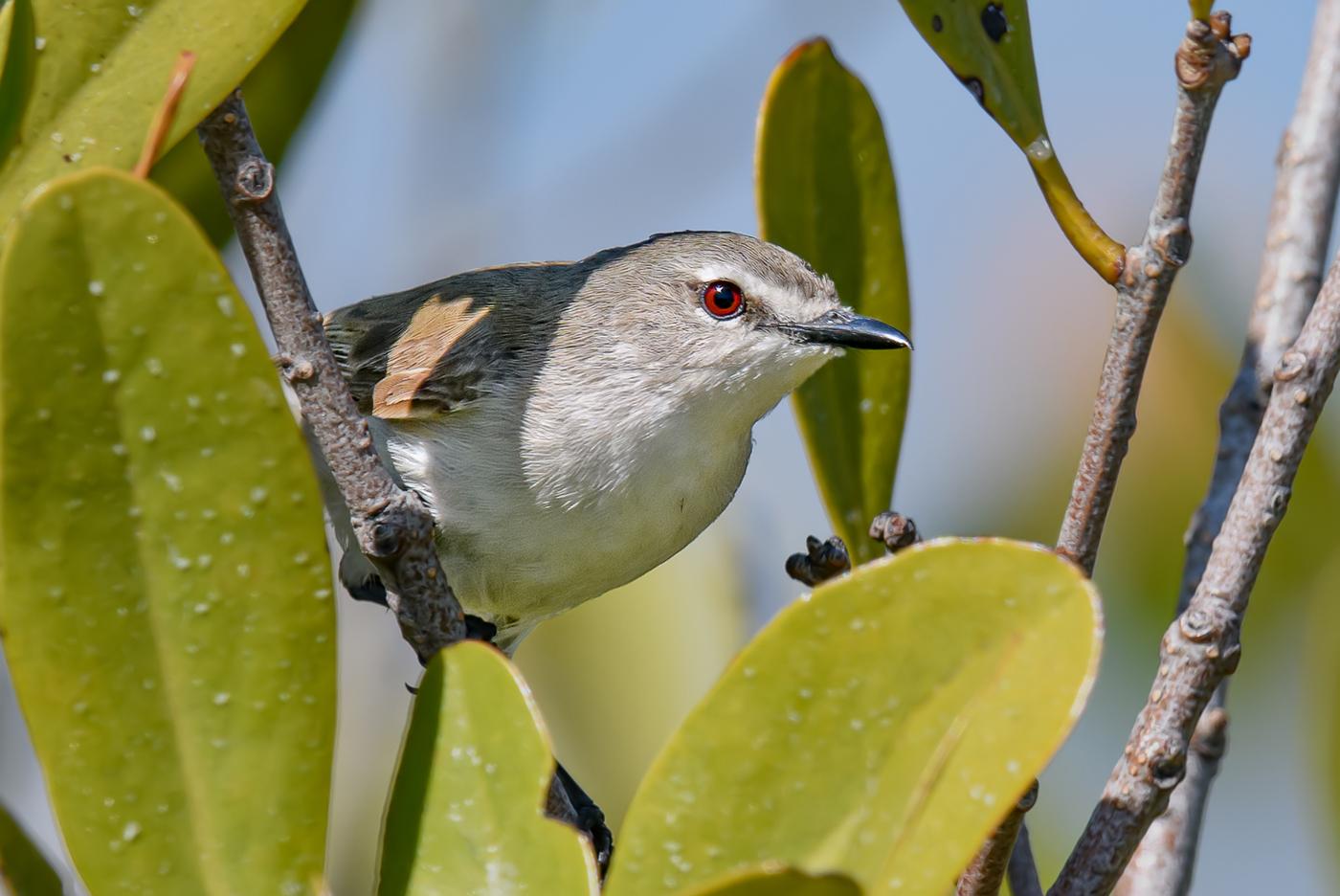 Mangrove Gerygone (Image ID 38036)