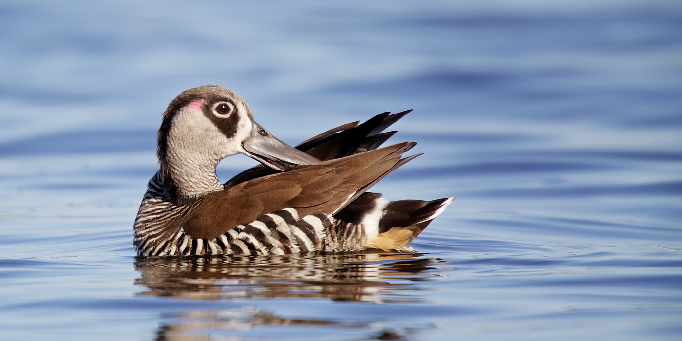 Pink-eared Duck (Image ID 38261)