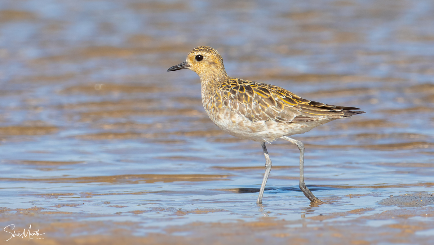 Pacific Golden Plover (Image ID 37980)