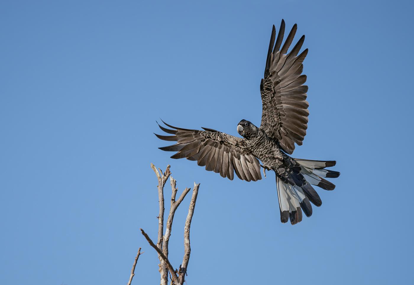 Carnaby's Black-Cockatoo (Image ID 38102)